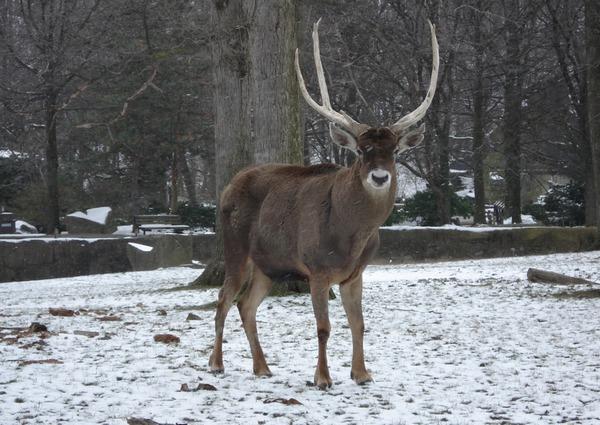Беломордый олень