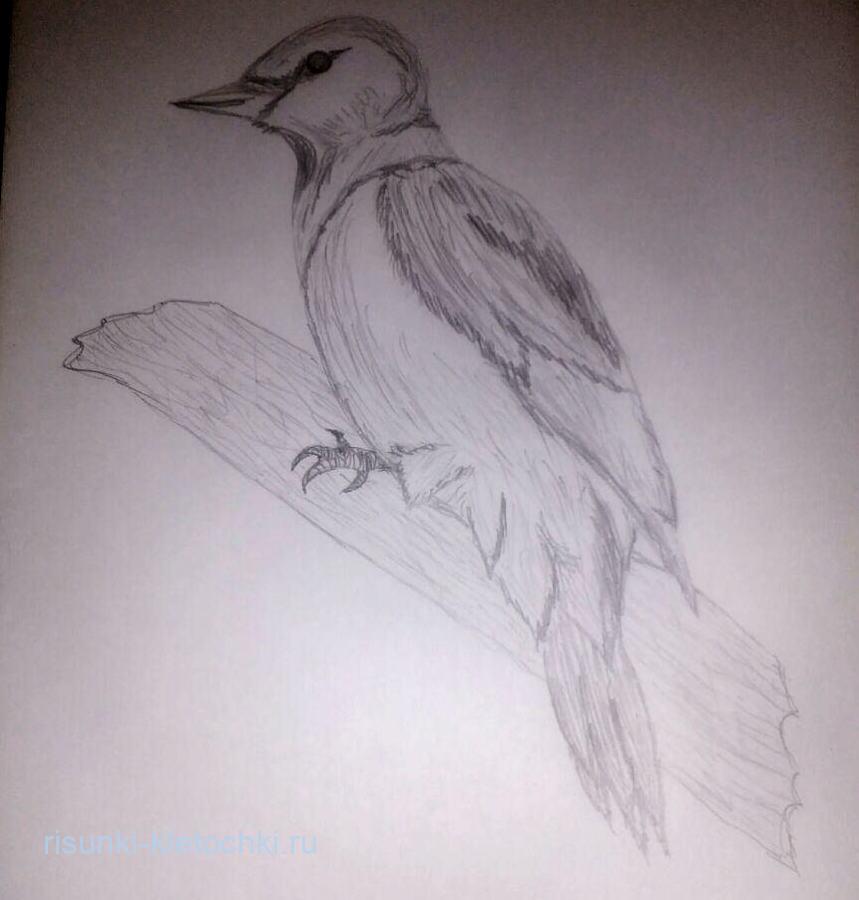 Как нарисовать дятла поэтапно