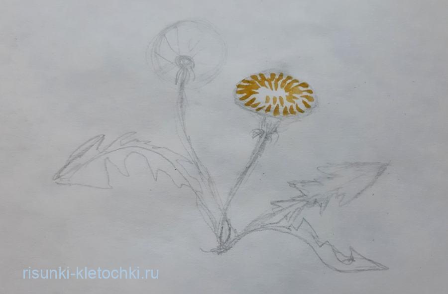 Как нарисовать одуванчик поэтапно  акварелью