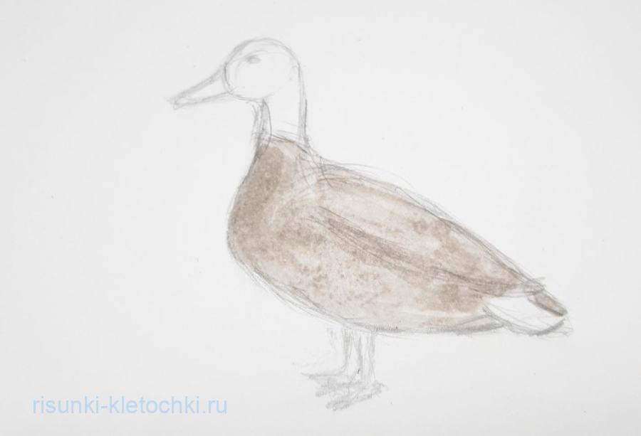 Как нарисовать утку поэтапно карандашом и акварелью